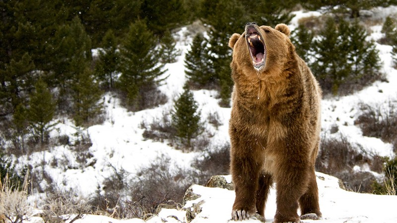Grizzly-Bears-Are-Even-Less-Cute-Than-Polar-Bears