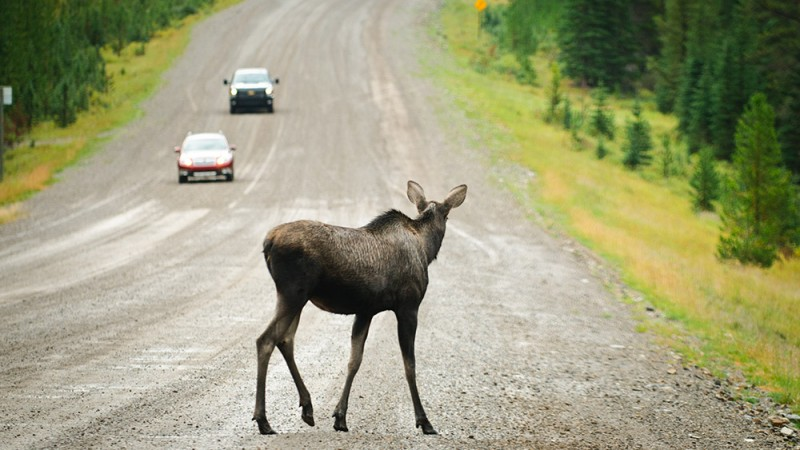 Wildlife-Vehicular-Collisions-Are-Common-and-Deadly
