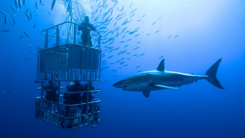 Dive-With-Great-White-Sharks